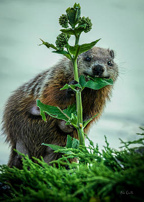 Photograph - Mother Groundhog Fine Dining by Bob Orsillo