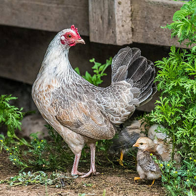 Farm Scene Photograph - Mother Hen by Paul Freidlund