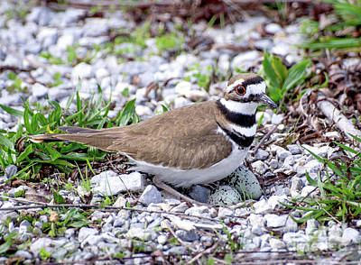 Photograph - Mother Killdeer On Nest by Liz Masoner