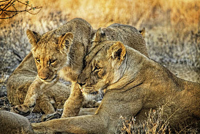 Photograph - Mother Love For Her Lion Cub by Kay Brewer