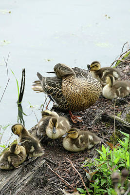 Photograph - Mother Mallard And Ducklings Primping by Bill Jordan