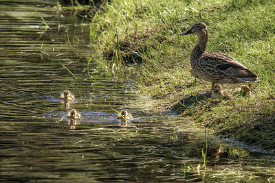 Photograph - Mother Mallard And Her Brood, No. 1 by Belinda Greb