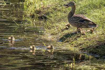 Photograph - Mother Mallard And Her Brood, No. 2 by Belinda Greb