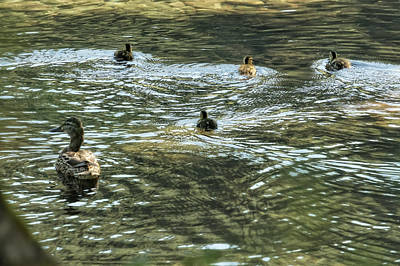 Photograph - Mother Mallard And Her Brood, No. 3 by Belinda Greb