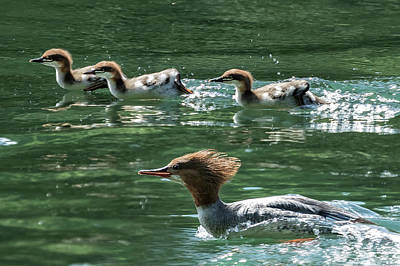Photograph - Mother Merganser And Young On The Move by Belinda Greb