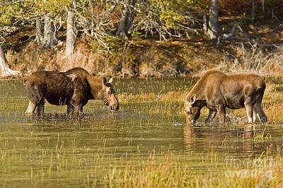 Photograph - Mother Moose And Her Calf by Alana Ranney