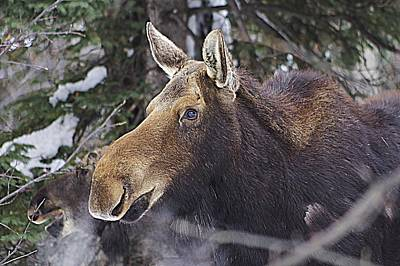 Photograph - Mother Moose by Matt Helm