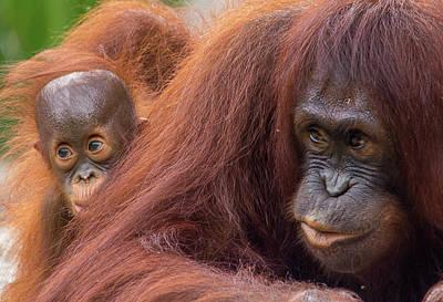 Photograph - Mother Orangutan With Baby by John Black