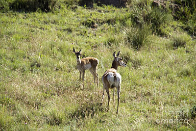 Photograph - Mother Pronghorn And Her Baby by Jeff Swan