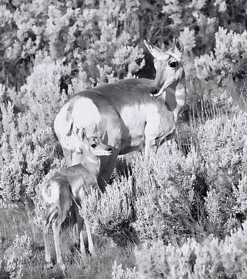 Photograph - Mother Pronghorn Black And White by Dan Sproul