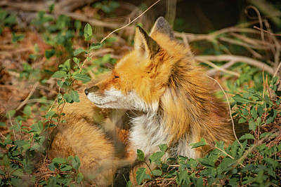 Photograph - Mother Red Fox Resting by Bruce Pritchett