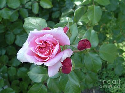 Belinda Landtroop Royalty Free Images - Mother Rose Royalty-Free Image by Belinda Landtroop