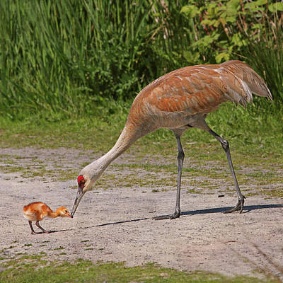 Photograph - Mother Sandhill Crane Feeding Baby by Peggy Collins