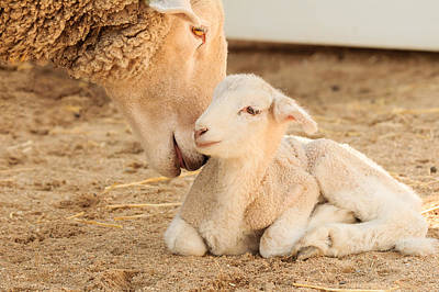 Photograph - Mother Sheep With Newborn Lamb by Joni Eskridge