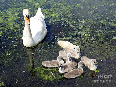 Photograph - Mother Swan And Baby Cygnets by Ed Weidman