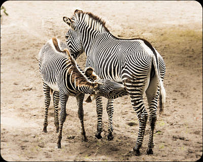 Photograph - Mother Zebra Nursing Baby by Paula Porterfield-Izzo