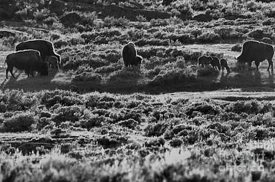 Photograph - Mothers And Newborn Bison Black And White by Adam Jewell