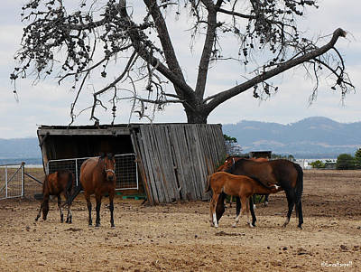 Photograph - Mothers And Their Foals, Nubeeba Tasmana by Lexa Harpell