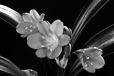 Victoria Magazine Style Photograph - Mother's Clivia Lily by Sandra Foster