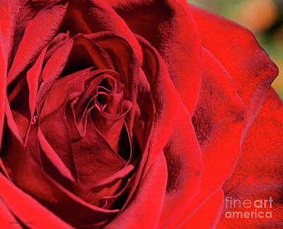 Photograph - Mother's Day Rose by Nancy Chambers