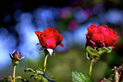 Photograph - Mother's Day Roses Blank by Mark Andrew Thomas
