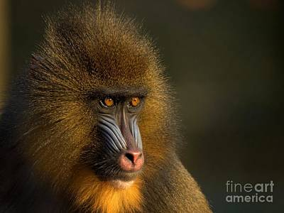 Ape Photograph - Mother's Finest by Jacky Gerritsen