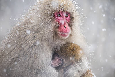 Ape Wall Art - Photograph - Mother's Warmth by Takeshi Marumoto