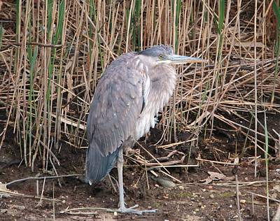 Photograph - Motionless Great Blue by Karen Silvestri