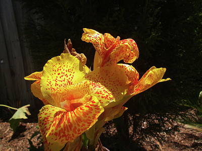 Mottled Canna Lilly Art Print by Wayne Skeen