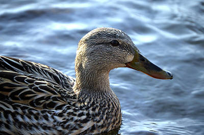 Photograph - Mottled Duck Big Spring Park by Lesa Fine