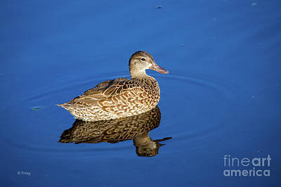 Photograph - A Very Young Mottled Duck by Rene Triay Photography