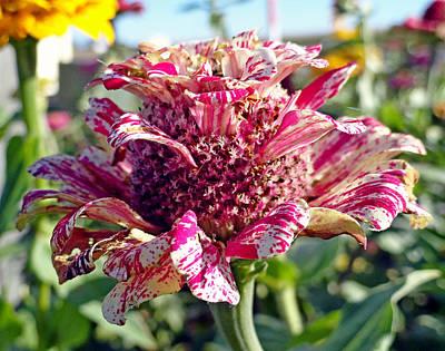 Photograph - Mottled Pink Cone Flower by Robert Meyers-Lussier
