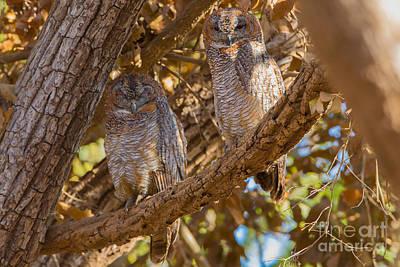 Mottled Wood Owls, India Art Print
