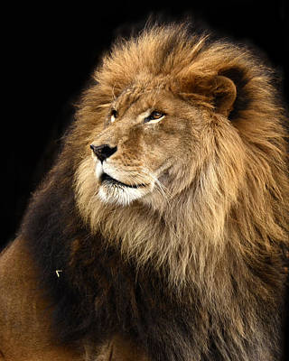 Photograph - Moufasa The Lion by Ann Bridges