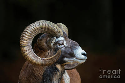 Photograph - Mouflon Portrait by Arterra Picture Library
