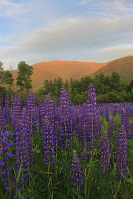 Photograph - Mount Adams And Lupines by John Burk