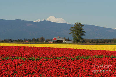Striking Photograph - Mount Baker Skagit Valley Tulip Festival Barn by Mike Reid