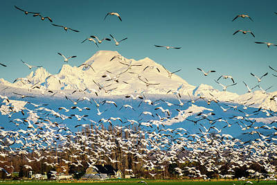 Photograph - Mount Baker Snow Goose Blizzard by Michael McAuliffe