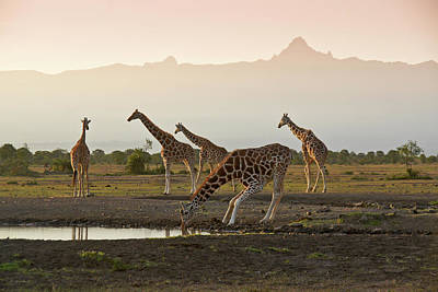 Photograph - Mount Kenya With Giraffes by Michele Burgess
