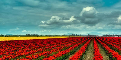 Photograph - Mount Vernon Tulip Fields by David Patterson