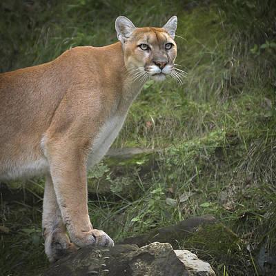 Animals And Earth Photograph - Mountain Lion by Garett Gabriel