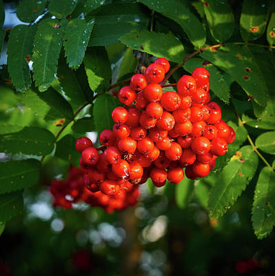 Photograph - Mountain Ash 2 by Jouko Lehto