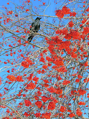Photograph - Mountain Ash Berries With Crow by David Pantuso