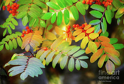 Photograph - Mountain Ash Fall Color by Michele Penner