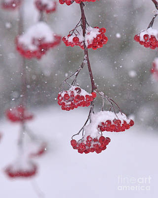 Photograph - Mountain Ash by Joshua McCullough