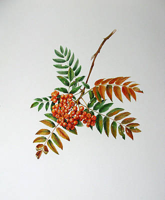 Mountain Ash  Art Print by Margit Sampogna
