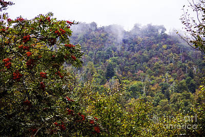 Photograph - Mountain Ash On A Misty Mountain by Allen Nice-Webb