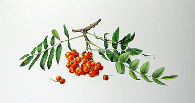 Painting - Mountain Ash With Berries  by Margit Sampogna