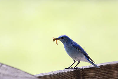 Photograph - Mountain Blue Bird by Dana Moyer