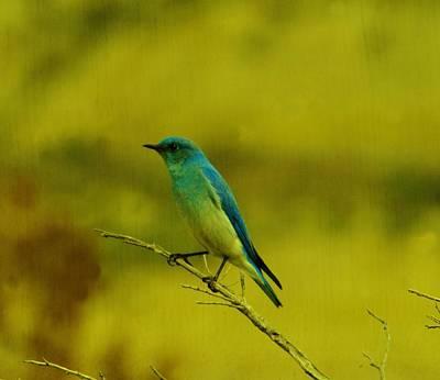Winter Animals - Mountain blue bird by Jeff Swan